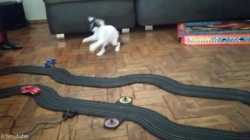 クルマのおもちゃにハイテンションになる猫04