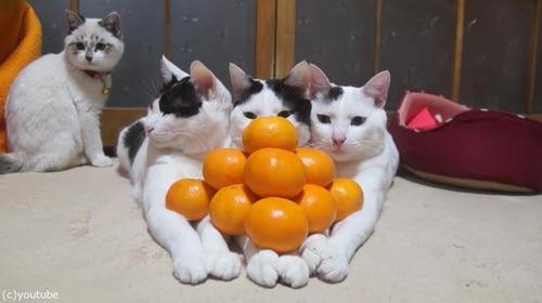 猫の上にみかん03