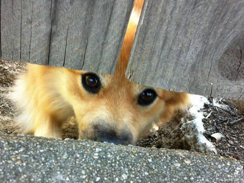 壁越しに会いたがる犬たち01