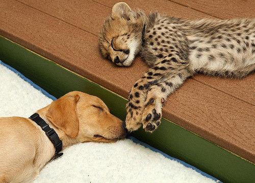 チーターと犬の友情05