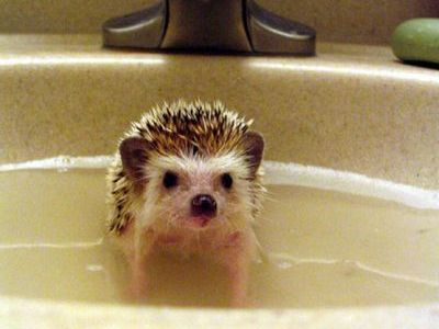 お風呂ハリネズミ