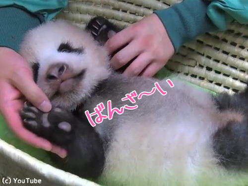 赤ちゃんパンダの身体検査00