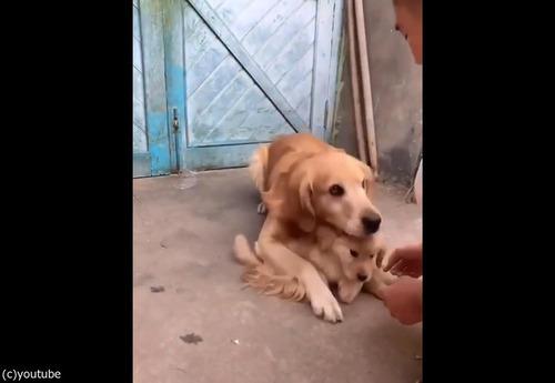 過保護な犬04