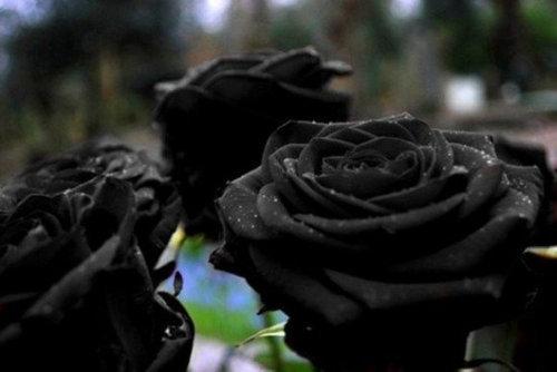 黒バラ02