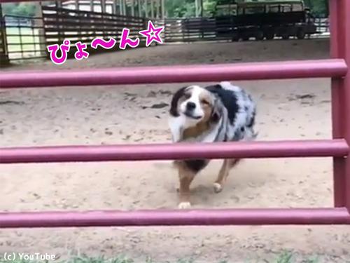 柵の飛び越え方がカッコよすぎる犬00