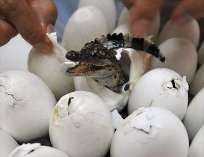 卵からひょっこり顔を出すワニと海ガメの赤ちゃん02