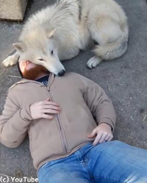人間にベッタリのオオカミ03