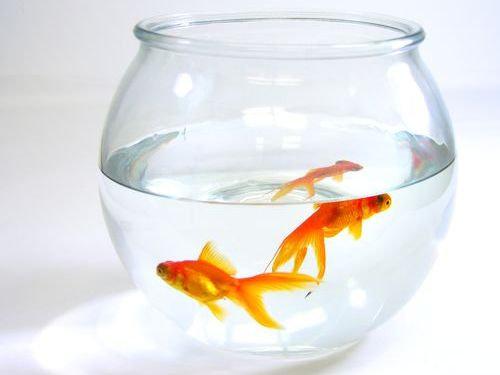 金魚が飼えなくなって人々が湖に放したその結果00