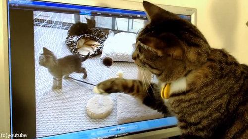 PC画面を見つめる猫02