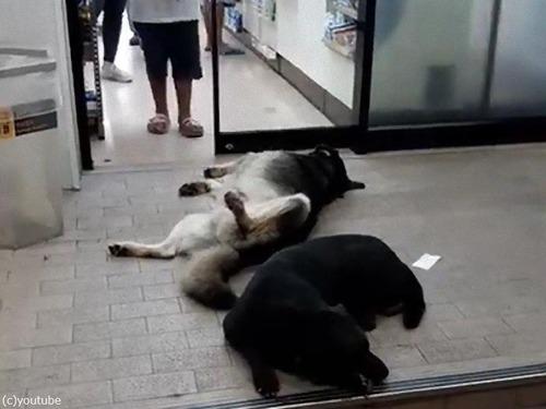 コンビニの前で熟睡する犬00