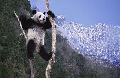 雪で大はしゃぎのパンダ親子05