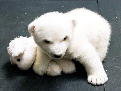 白クマの子供がかわいすぎる13