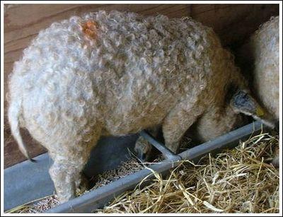 豚と羊の交配種09