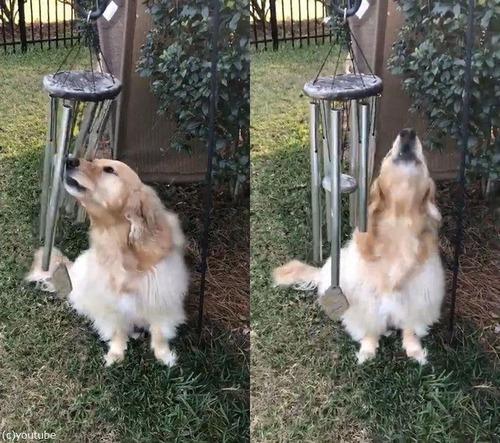 ウィンドチャイムで弾き語りする犬02