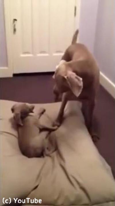 お兄ちゃんのベッドを奪う子犬04