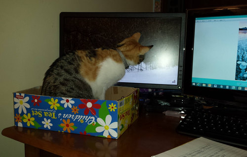 パソコンの邪魔をする猫07