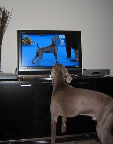 猫の番組を見つめる猫13