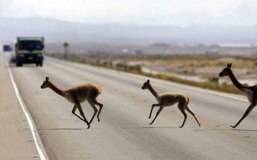 道路を渡る動物08