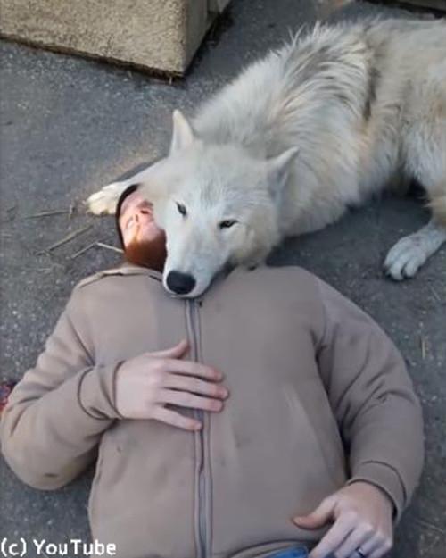 人間にベッタリのオオカミ04