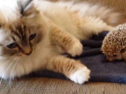 ハリネズミと猫01