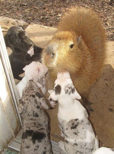 子犬を育てるカピバラ05