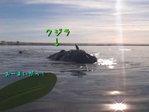 カヤックを漕いでたらクジラの上に乗った00
