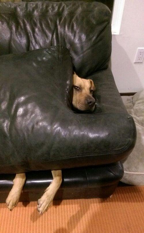 ソファの上を禁止された犬02