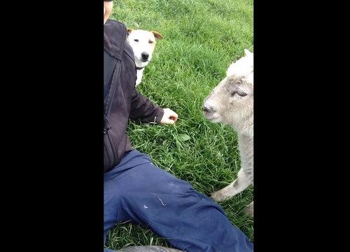 羊をなでなでしてたら犬が01
