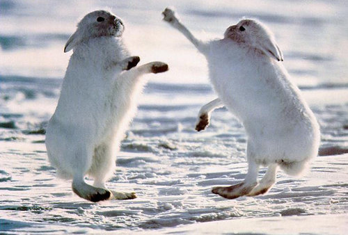 北極ウサギ02