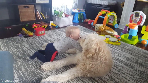 もふもふの犬をベッドにしようとする赤ちゃん03