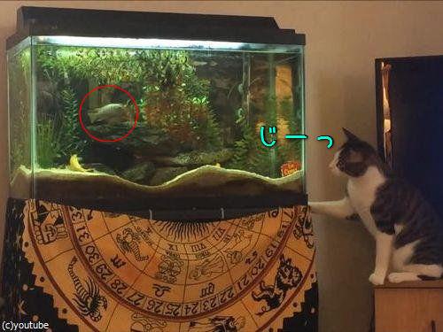水槽を狙う猫00