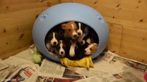 小さなベッドの中に子犬が16匹02