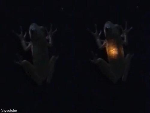 カエルがホタルを食べた02