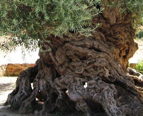 樹齢2000年のオリーブの木02