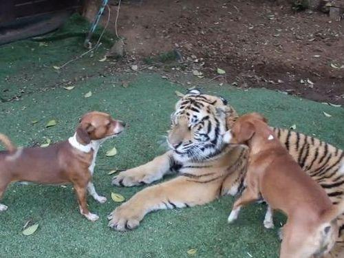 虎と犬00