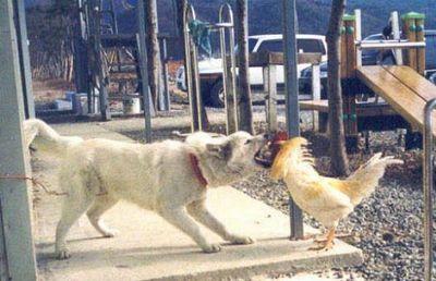 犬がニワトリと本気で戦う02
