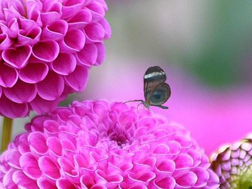 透明の蝶02