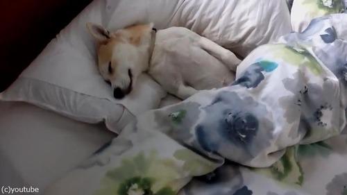 病院に行くのを頑なに拒否する犬01