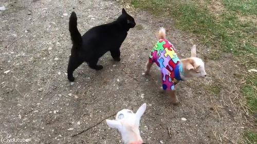 赤ちゃんヤギたちのパジャマパーティー06