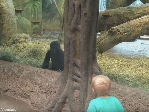 ガラス越しに人間の子供とゴリラの子供が遊ぶ03