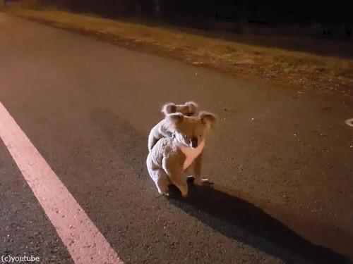 深夜3時にコアラの親子03