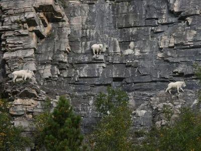 ヤギの崖を登る能力03