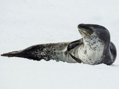 アザラシが氷の上で昼寝をすると00