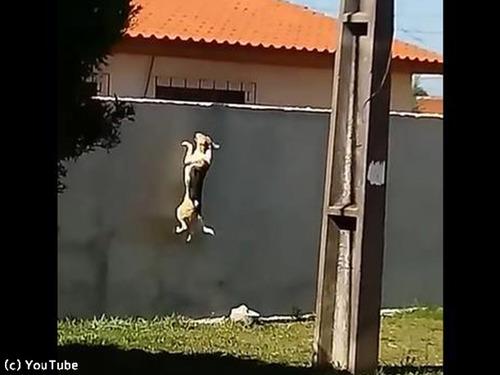 犬が壁越えジャンプにチャレンジ00