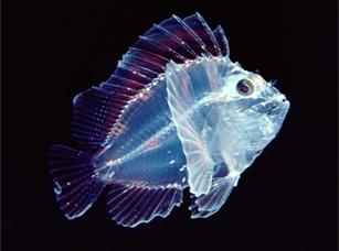 透明な海洋生物-幼魚