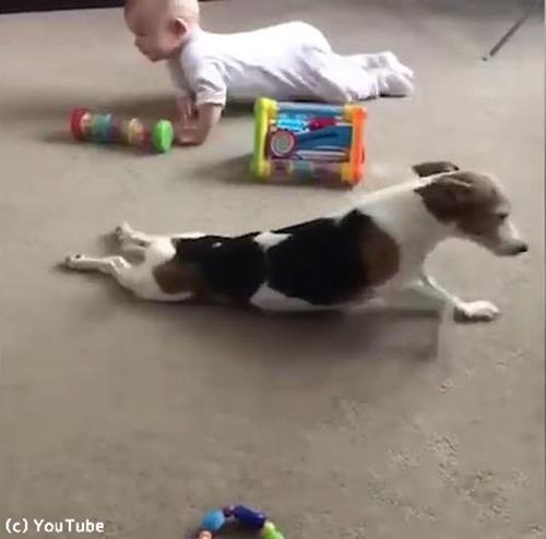 赤ちゃんにハイハイを教える犬03