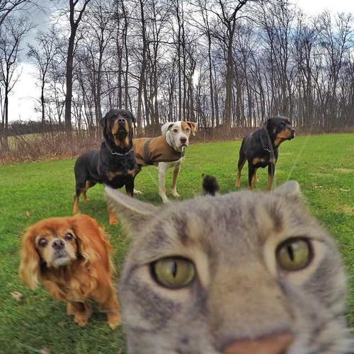 犬たちと一緒に自分撮りをする猫07