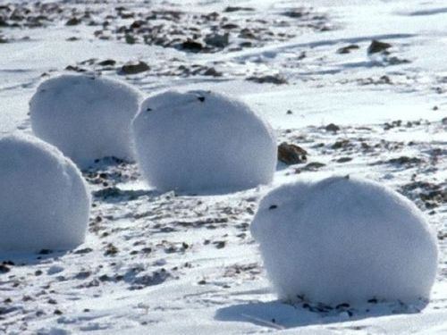 北極ウサギ00