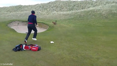 ゴルファーの財布を盗むキツネ06