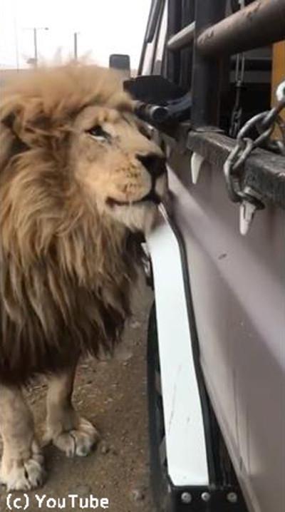 クルマにひたすらスリスリしてくるライオン04